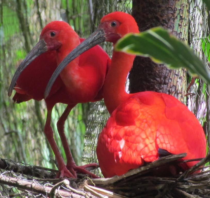 Scarlet Ibis at Wild Fowl Trust.