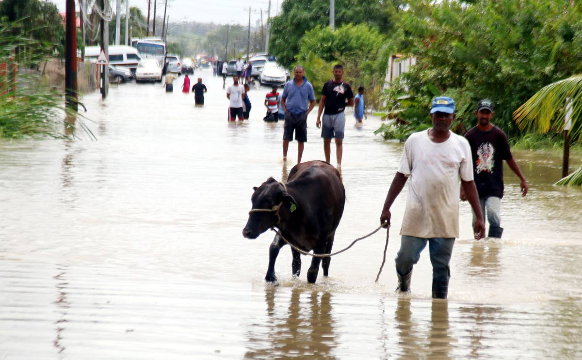 Seeking dry ground: A man leads his cow along a flooded street alongside other residents in Woodland yesterday. Photo by Ansel Jebodh