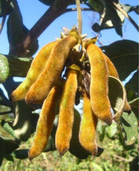 STAY AWAY FROM ME: The Mucuna pruriens pod, commonly known as Cow itch, which when physical contact is made, causes non-stop itching.