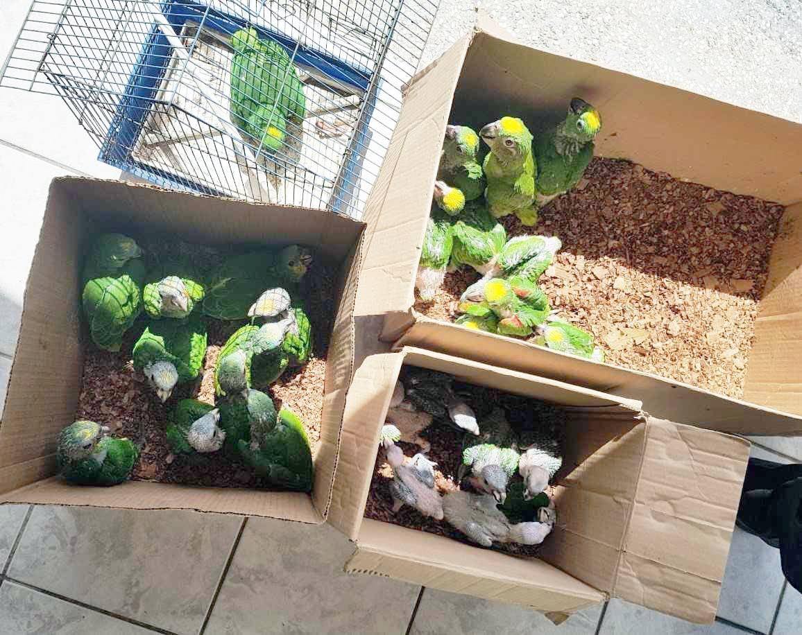the baby parrots confiscated by police for which a woman has been arrested.