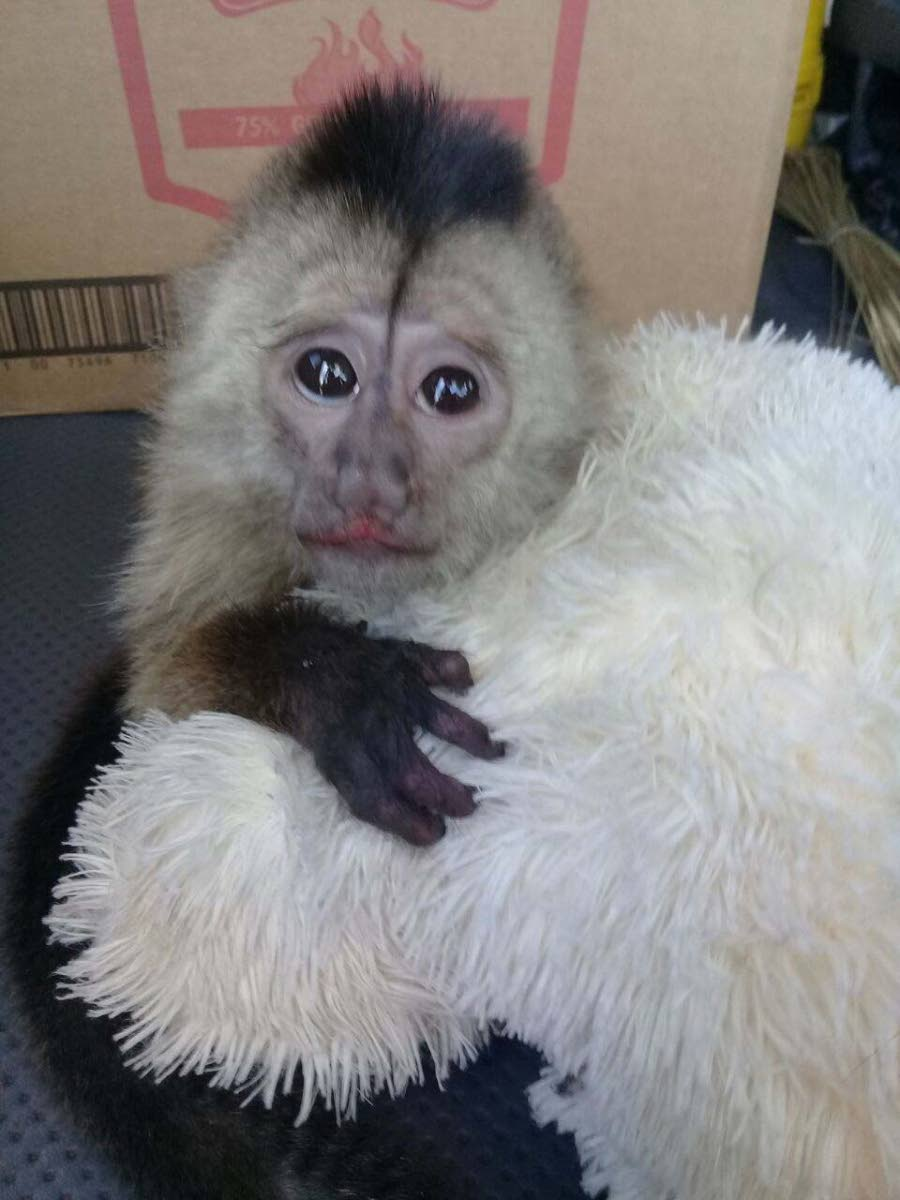 SAVED: The capuchin monkey which was rescued by game wardens and police on Friday last.