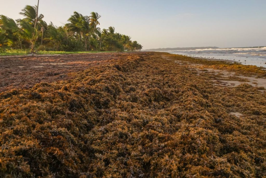 The nine-mile Mayaro coastline is covered in sargassum seaweed, which is piled up to three feet high on beaches used by the public. Photo by Jeff Mayers  Large amounts of Sargassum littered the Mayaro coast line which is having an adverse affect on domestic tourism  ... dd 2018.05.07