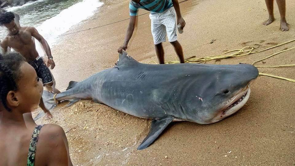 BEACHED: Curious onlookers surround a nine-foot tiger shark on Sunday at a beach in Toco, hours after it was caught by fishermen.