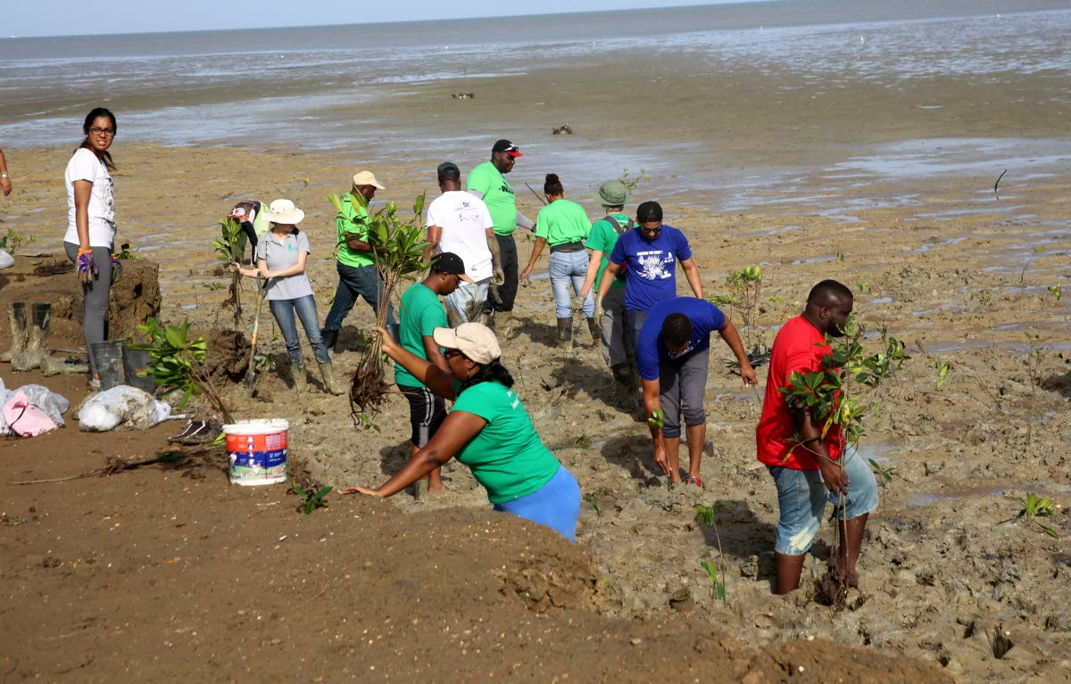 LABOUR OF LOVE: Volunteers plant mangrove seedlings at the Brickfield mudflats at Orange Field in Carapichaima yesterday.   PHOTO BY VASHTI SINGH