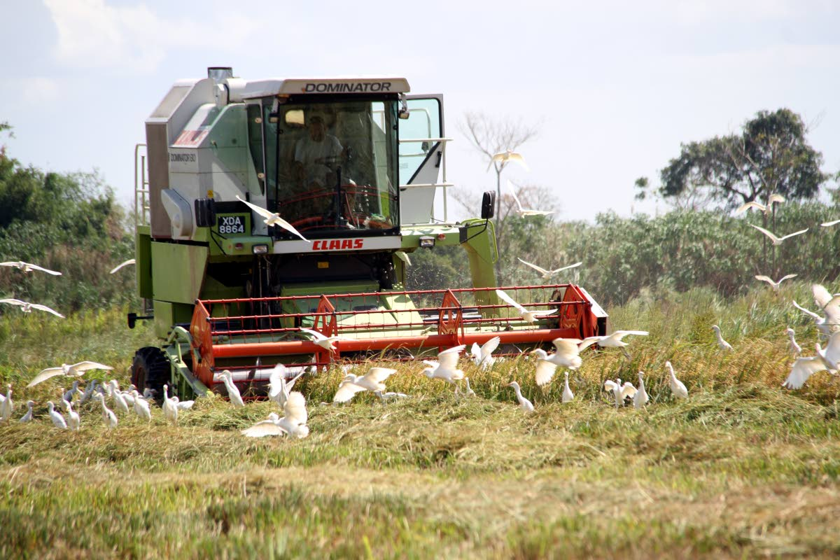 A harvester reaps rice on a lands at Orange Grove Tacarigua on March 20, 2016. Former agriculture minister Vasant Bharath, in a letter to Agriculture Minister Clarence Rambharath, is appealing for a moratorium on ADB loan payments for rice farmers who are also owed money by NFM. FILE PHOTO