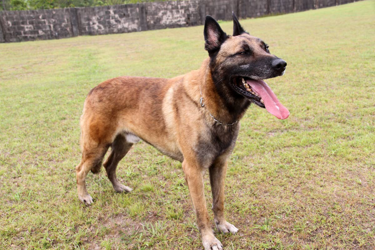 file photo of Dani,  TT's only cadaver dog of the police K9 unit is based at the  Cumuto Defence Force Barracks, (where these photos where these were taken.)