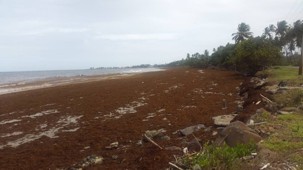 Sargassum seaweed floods the coastline and beach at Rockley Bay recently.