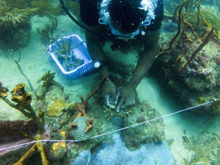 A team member with the Environmental Research Institute Charlotteville (ERIC) plants corals in Charlotteville at the institute's very first Coral Out-Planting Initiative on July 7.