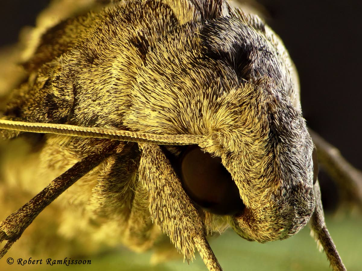 Photographer Robert Ramkissoon  submitted this macro image of a moth called Earthly Alien to the TT Photographic Society competition. Photo courtesy Robert Ramkissoon.