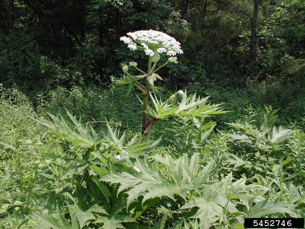 The giant hogweed (Heracleum mantegazzianum), is a member of the carrot family.