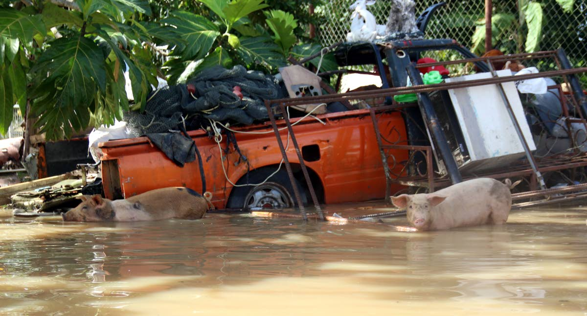 File photo: Pigs swim in floodwaters trying to find dry ground.   PHOTOS BY ANSEL JEBODH