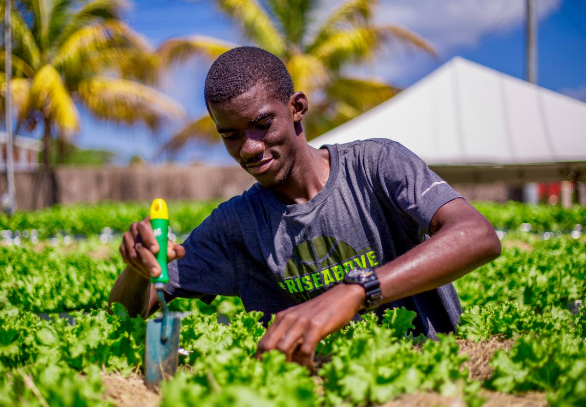 Young farmer Omari Cox tends to his lettuce garden on Friday at Store Bay Local Road.