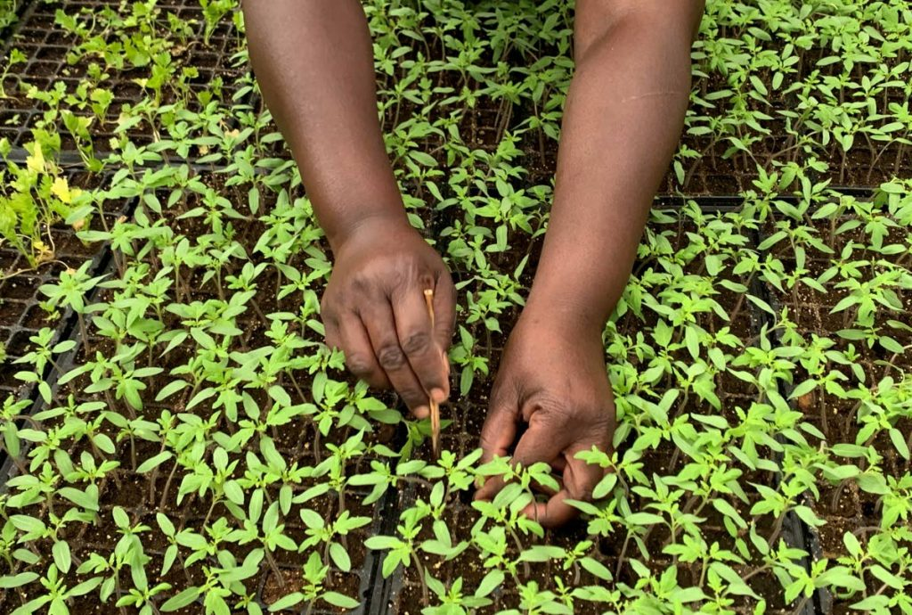 A URP participant cleans and transfers short crop seedlings.