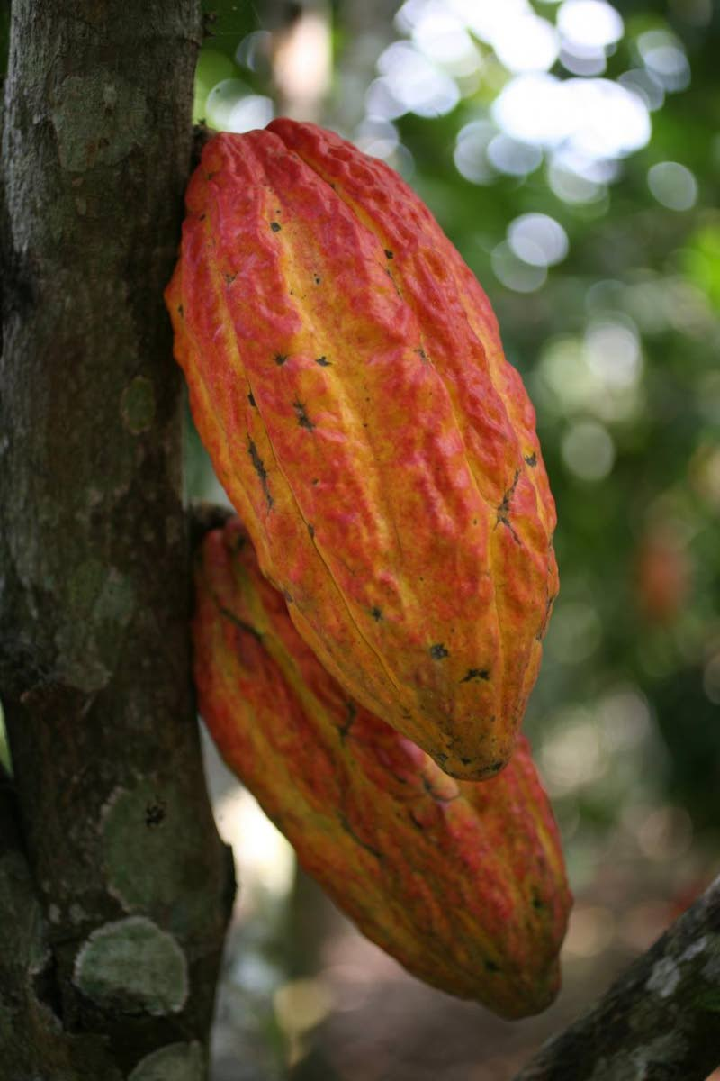Trinitario is a hybrid of the Criollo and Forastero cocoa varieties, developed in Trinidad.