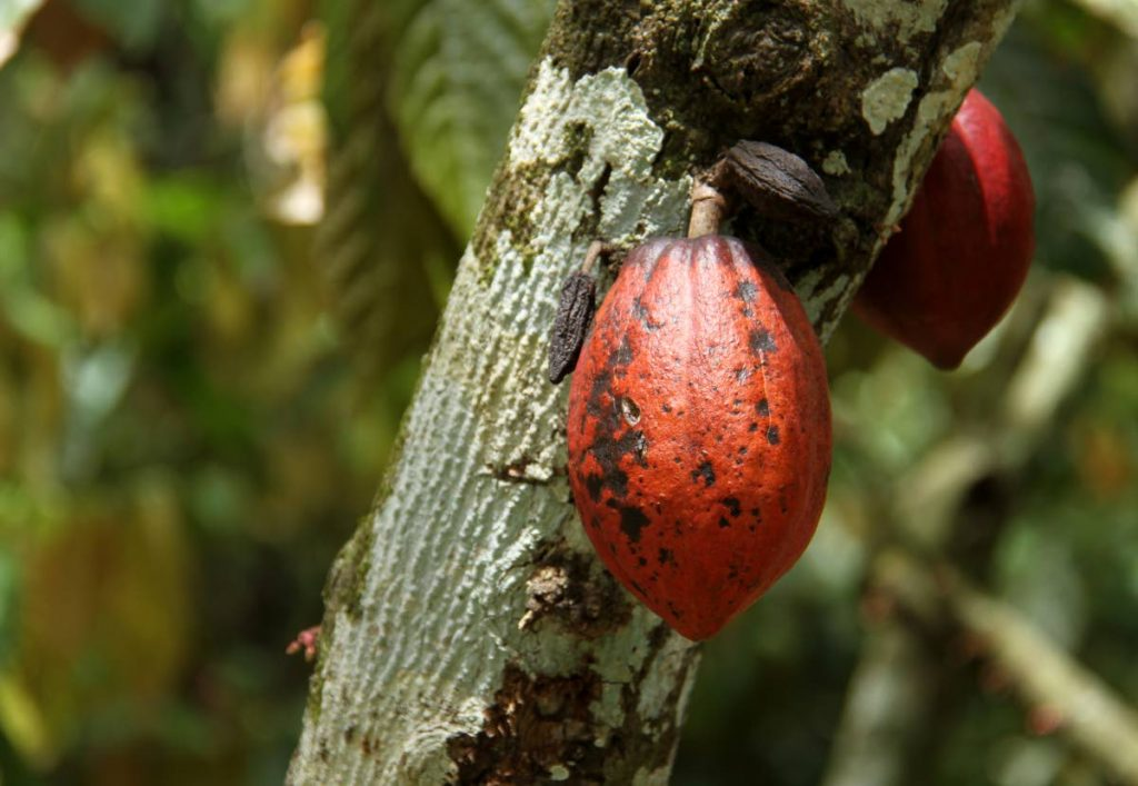 At the International Cocoa Genebank, there are over 2,000 specimens from around the world.