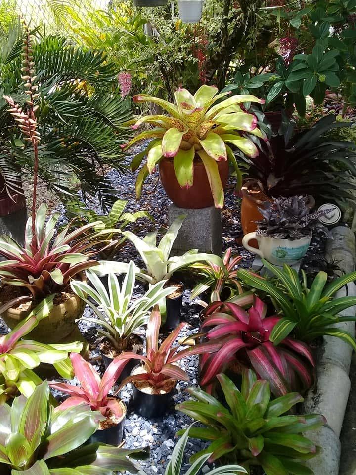An assortment of bromeliads around the garden. PHOTOS COURTESY ALLISON ATTZ