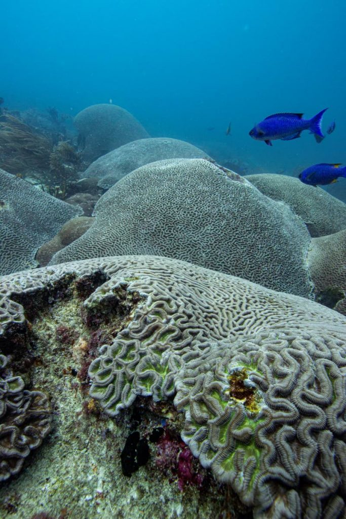Corals covered in algae at the Melville Drift dive site near St. Giles Island.