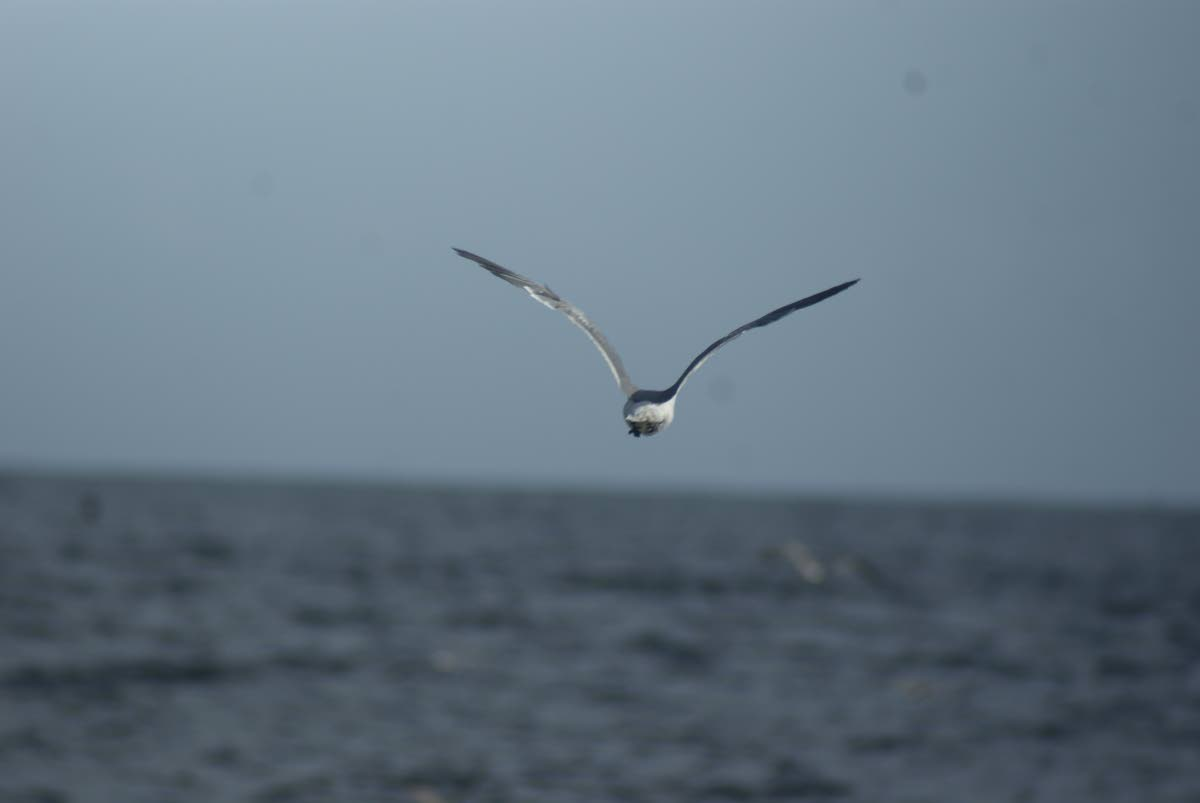 Cupid, the laughing gull, flies away to join the flock after being released at Barbados Bay.