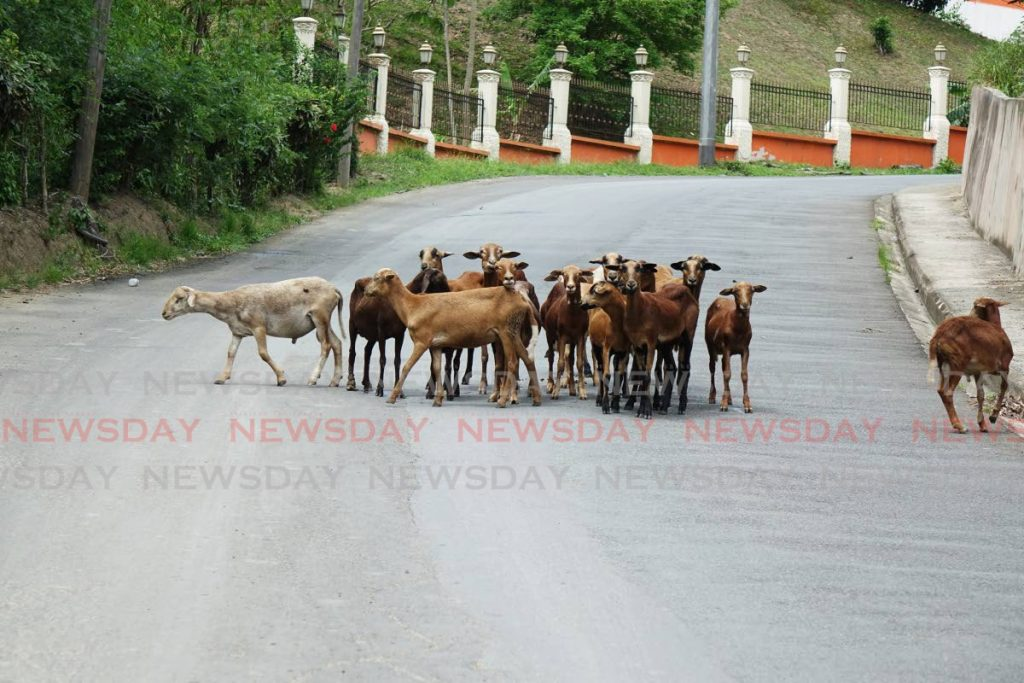 Roaming Tobago sheep -