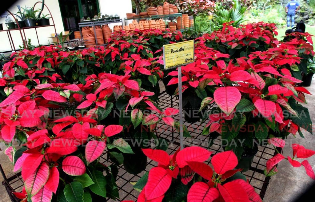 Poinsettias are a common feature of local Christmases.   -