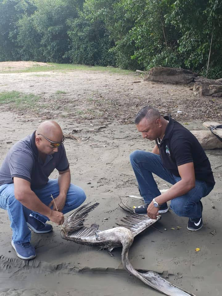 Game Wardens Steve Seepersad and Richard Ramlogan on one of the sites where the dead pelicans have been seen at Point Sable and coffee beaches La Brea  -