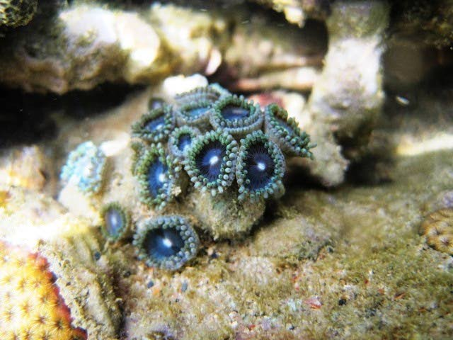 Zoanthids found on Toco's coral reefs. - STANTON BELFORD