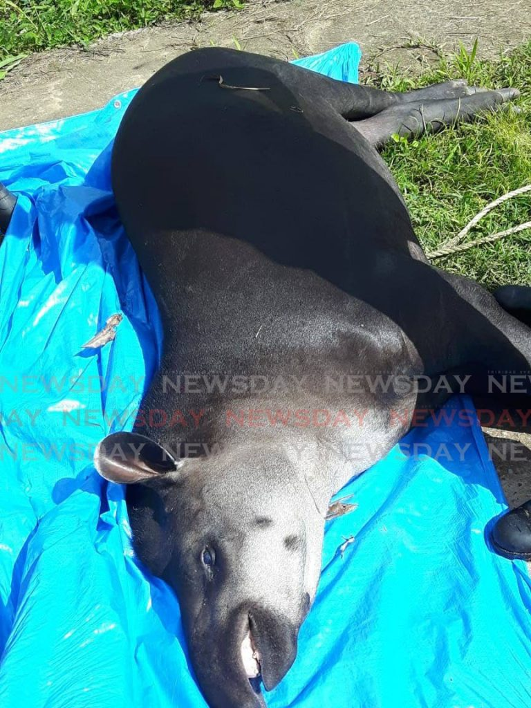 The tapir which was tranquilised before it was captured on Monday. -