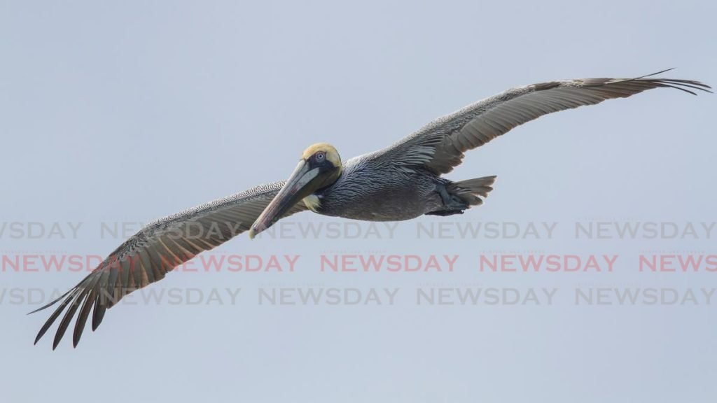 The wingspan of an adult Brown Pelican can be up to seven and a half feet across.  - Faraaz Abdool