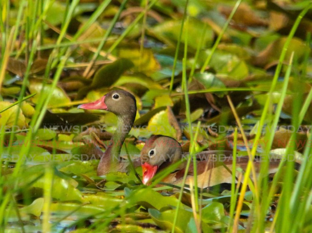 Wild ducks received full protection by law in 2019.  PHOTO BY E. SEEBARAN - PHOTO BY E. SEEBARAN