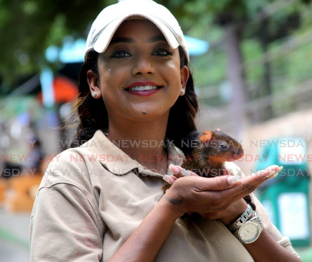 In this file photo Zoological Society officer Sharleen Khan shows off the baby agouti which was found along in the bushes in Sangre Grande and taken to its new home at the Emperor Valley Zoo.   - Sureash Cholai