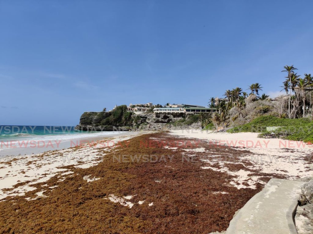 The world famous Crane Beach is normally filled with people and cleared of sargassum seaweed. - BC Pires