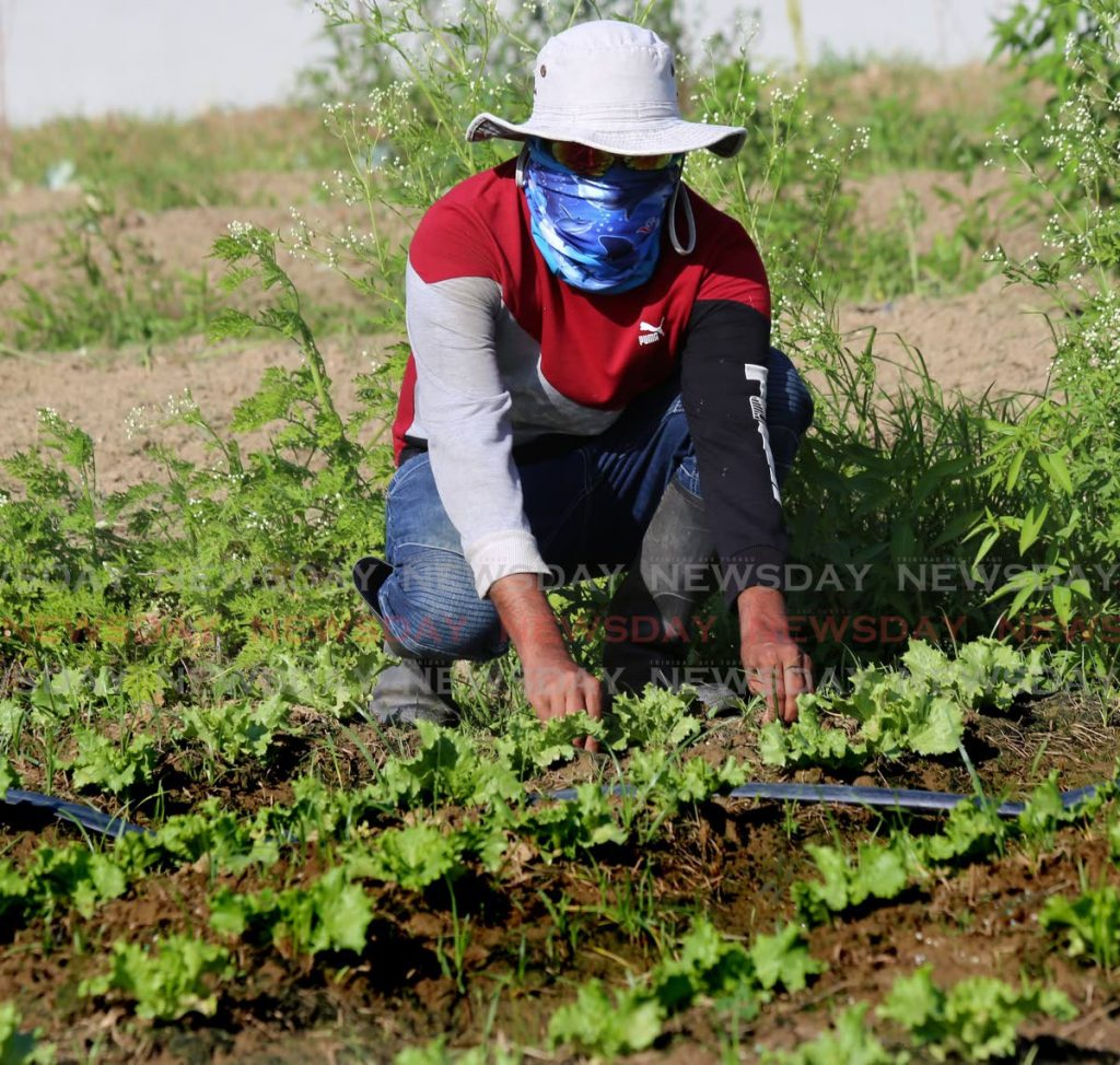 Aranquez farmer Chanardath Bir tends to a crop of lettuce in his garden. - FILE PHOTO