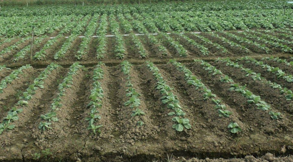 A field of young cabbage plants at Tabaquite. -