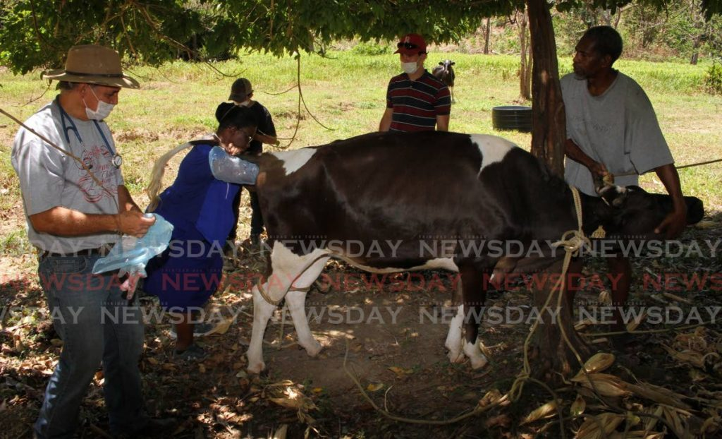 Veterinary surgeon Dr Lena Brereton does a rectal examination on a cow at a farm in Sangre Grande. Dr Cleves, left, look on. - Angelo Marcelle