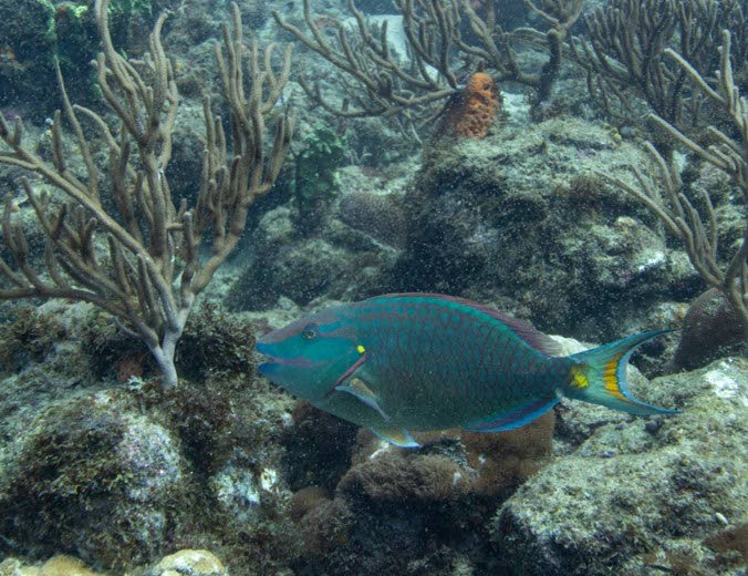 Terminal Phase Stoplight Parrotfish  - one of the many species found on Tobago's reefs. PHOTO COURTESY IMA Imagery Collection -