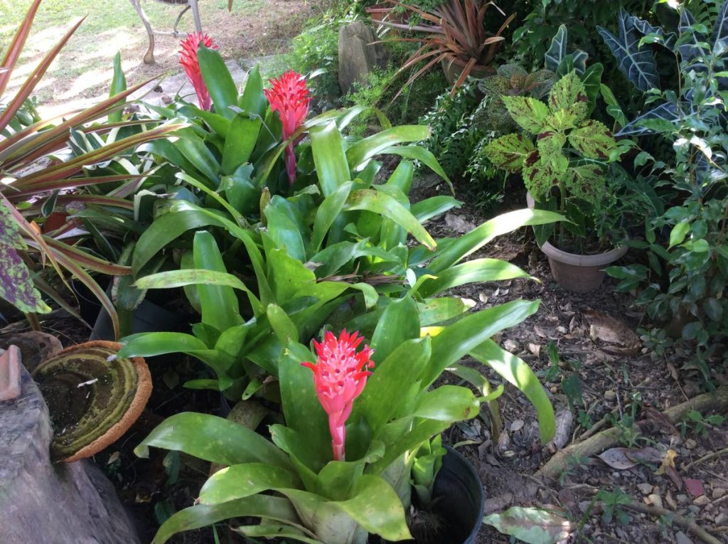 Blooming bromelaids. - Hyacinth Cross