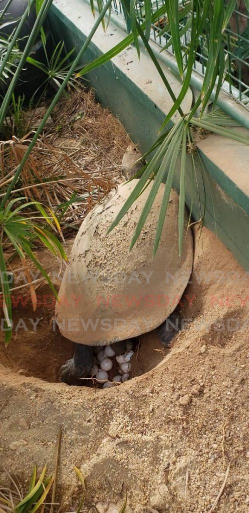 The turtle lays her eggs at the Emperor Valley Zoo. - EMPEROR VALLEY ZOO