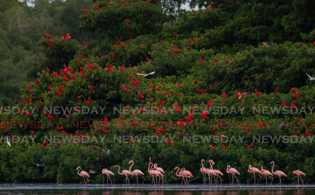 Scarlet Ibis and pink flamingoes are among the birds that you can see at the Caroni Swamp. - JEFF K MAYERS