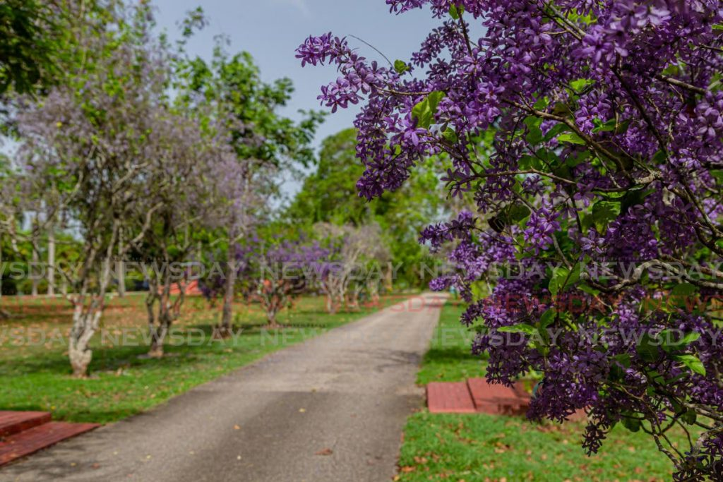 Petrea Volubilis overlooking a pathway as if wondering about the prolonged absence of laughing children at the  the Royal Botanic Gardens in Port of Spain last Friday. - Jeff Mayers