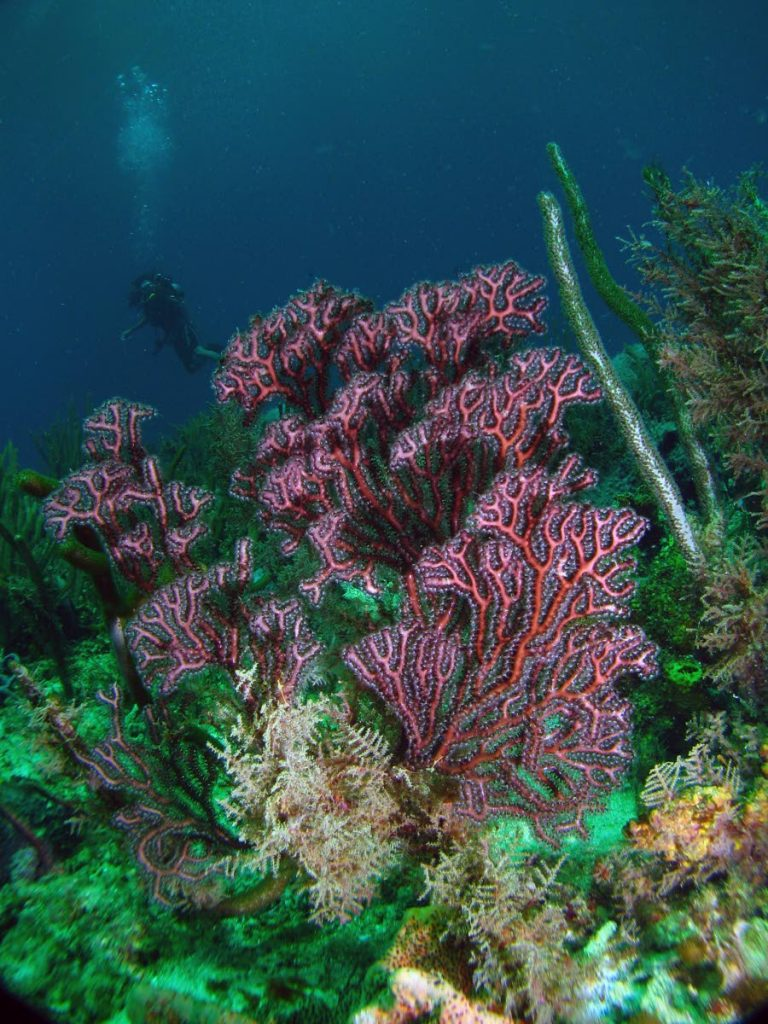 Soft corals at Buccoo Reef. PHOTO BY Jonathan Gomez -