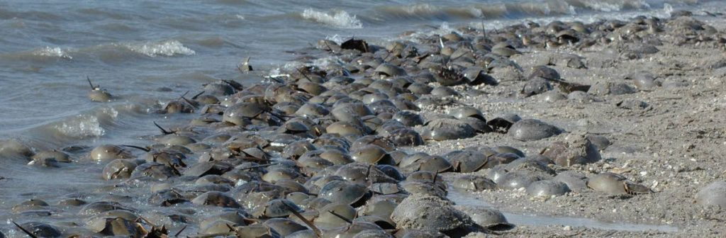 Spawning aggregation of horseshoe crabs in Delaware. PHOTO COURTESY Delaware National Estuarine Research Reserve  -