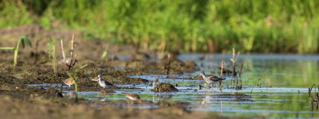Habitat for shorebirds: Various species of shorebirds can feed in the same area comfortably without competition, as they all target different prey items. There are four species in this photo. PHOTO BY FARAAZ ABDOOL  -