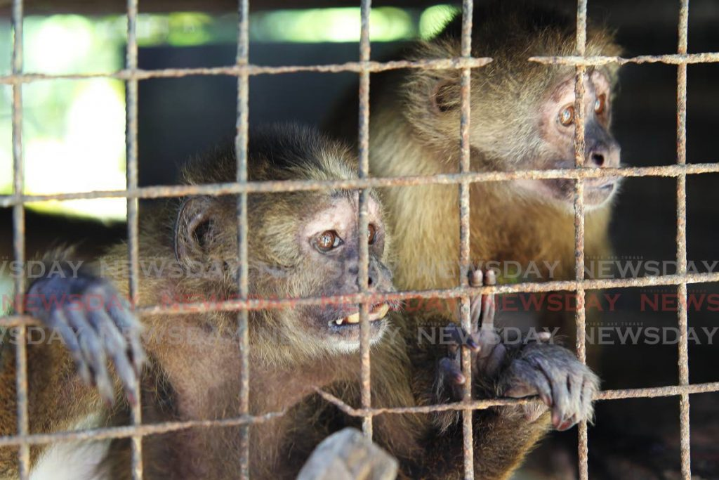 Wedge Capuchin monkeys housed at the El Socorro Centre for Wildlife Conservation, Valley Trace Freeport. PHOTO: Lincoln Holder - Lincoln Holder