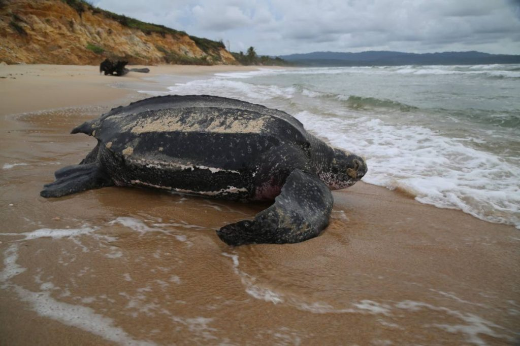 Leatherback turtle headed out to sea - Photo courtesy Nature Seekers