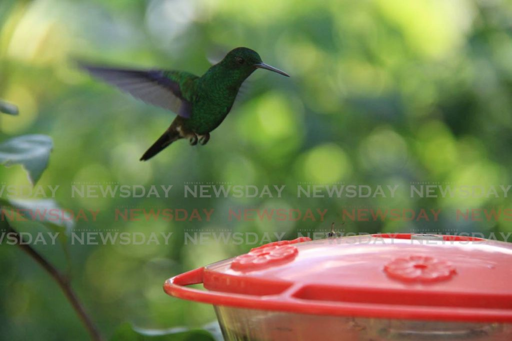 This copper rumped hummingbird flies to get his nectar at the Adventure Farm and Nature Reserve on Arnos Vale Road, Plymouth, Tobago. - Ayanna Kinsale