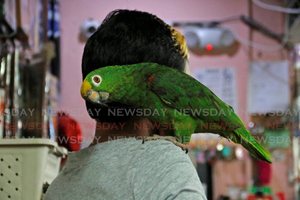 Bird-watch: Benson the parrot keeps its owner company at the Santa Hair and Wig Store on Point-A-Pierre road, San Fernando. - MARVIN HAMILTON