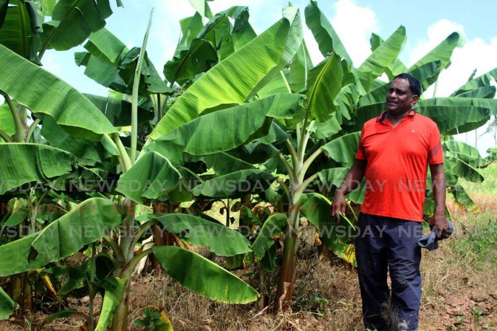 Farmer Heston Ragbir admires his powerful plantain trees at his hillside estate in Mayaro. - Darren Bahaw