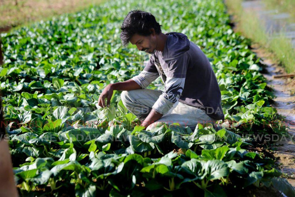 In this April file photo, Aranquez farmer Chris Manan attends to his crop of bok choy in his garden. Coming out of covid19, the Government has the Roadmap to Recovery with a focus on food security. - SUREASH CHOLAI