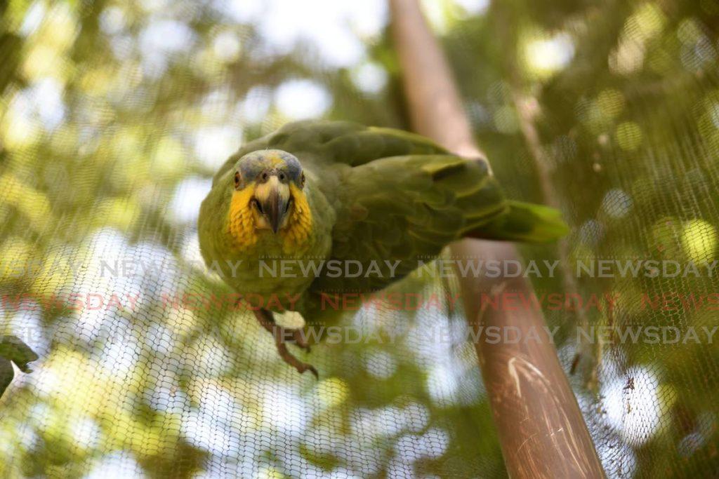 An orange-winged parrot. - Ayanna Kinsale