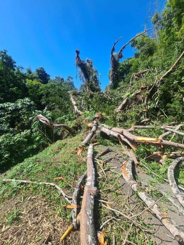 The century-old silk cotton tree in Golden Lane, Tobago fell on Wednesday. PHOTO COURTESY THA.